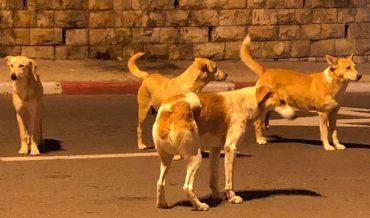 להקות כלבים בעיר ירושלים (צילום: פרטי)