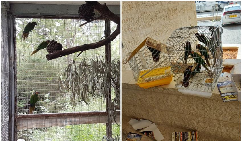 התוכים בכלובים שנלקחו מהדירה ברמת בית שמש, התוכים באחו המיוחד שהוקם עבורם בגן החיות (צילומים: עיריית בית שמש, רשות הטבע לגנים)