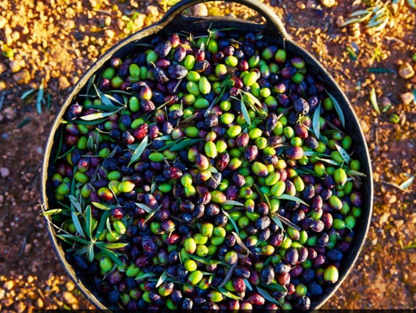 שמן זית ישראלי: הכירו את בתי הבד הדרומיים של ארצינו, צילום: Shutterstock
